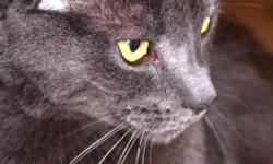 My Russian blue boy is the sweetest cat, very calm and regal, softest cat you will ever pet. He needs a stable, unchanging environment with someone who can give him love and affection, preferably without small children or dogs. His front paws are