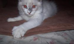 Born September 30, 2011. Ready for new homes on Nov. 25th. There are Siamese/Ragdoll kittens ? one female and one male with beautiful blue eyes are available to good homes. The female is a mitted seal with pencil thin white nose blaze and the male is