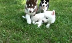 We have male and female and male Siberian husky puppies available to a companion, performance, or show House-breaking, leash and crate-training are already started and he is doing great. . They have been dewormed three times and they have had their first