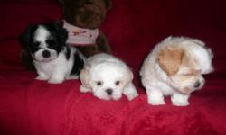BEAUTIFUL SMALL CKC MALTESE/SHIH TZU **MALTE-TZU** 3MALES 8WKS OLD, HOMA RAISED, UP TO DATE SHOTS & WORMING HEALTH GUARANTEE, VERY CUTE AND PLAYFUL LITTLE PUPPIES! NON SHEDDING,HYPO ALLERGENIC, PEE PEE PAD TRAINED, CALL 770-601-4498, THANK YOU!