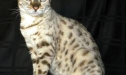 This beautiful seal spotted lynx point female will make a perfect edition to any home! She is very sweet had pretty clam for a Bengal. She is being sold has a pet. She has distinct markings that can be clearly seen and is a beautiful color snow. She is