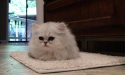 Purebred Persian kittens, 2 chinchilla females, 2 Silver males. CFA registered. Born June 28th. $400. Located off I-5& Hwy 12, south of Chehalis, Call 360-985-0422 for directions and information. or E-mail-- castillouxjo@yahoo.com