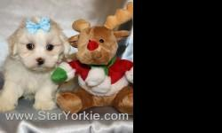 Get the best gift for Christmas - A new Puppy will bring love & joy to you and your family... With over 8 years of experience, the Star Yorkie Kennel brings you the best selection of teacup puppies and assures you will be happy with your new baby.