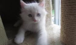 Absolutely beautiful TICA Ragdoll kittens ? three Flame (Orange) Male kittens ? born on May 18, 2012. They will available to go to their new homes on July 27th. Asking $550.00 The parents are TICA registered and reside with