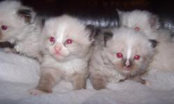 Beautiful TICA Mitted Seal Ragdoll kittens Born on July 5, 2011. There are three females and two males in the litter. Two females - one mitted seal with white nose blaze and one mitted blue are available. Ready for new homes on September 13, 2011. TICA