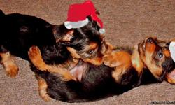 Beautiful Yorkie females.  Take one home for a wonderful Christmas.  I have both parents on site.  The little girls are just beautifu, friendly and happy.  I am in Plattsburgh.  Please call --
