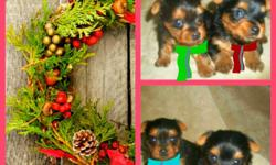 Beautiful Yorkie Puppies (Males Only) $500 Comes with reg papers and utd shot/worm record READY FOR CHRISTMAS~PERFECT GIFT AND WILL BE DRESSED FOR THE OCCASSION! Call or text or