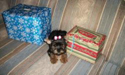 Beautiful little girl Yorkshire Terrier, She is very healthy and raised in my home. She comes with shots, wormed and health guarantee. She comes with registration papers.non shed and hypoallergentic for allery sufferers, Great pet