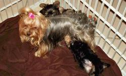 We have Beautiful, Very Healthy and oh so Adorable Yorkie Love Babies looking for the Forever homes. 2 year healthy puppy contract. We have both AKC prices which is much more. Most of our pups are adopted for 800. to 900. However larger pups have a lower