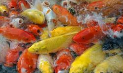 If you have interest in buying koi, please feel free to contact us. We can send you photo's of the Koi of your choice. We handle high quality Koi of all varieties. Such as Kohaku, Showa, Golden etc.. We also handle pumps, koi food..etc other related items