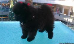 Neither black Pome, born Aug/7/12, shots and dewormed, very healthy, and playful,call