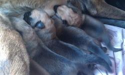 Belgian Malinois has had her first litter on May 17, 2011. 5 Females and 1 boy. Reserve your puppy today. They will not be sold until they are 8 weeks old. They will have there first shots. The father is a German Sheperd. For more information please call