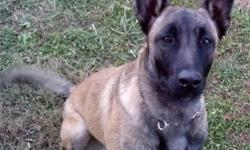 I have 2 Malinois 8 months old (male & female) that I kept out of a breeding from my adults. They both have all shot and micro-chipped. The price is each not for both. They are house broken and have basic Obedience training. They are very high drive pups