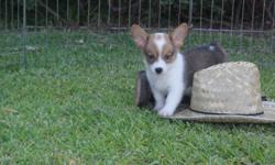 Bella is a 10 week old Corgi, that is looking for a big backyard to play in and a loving family. She is up to date on all her shots according to her age. Bella is registered APRI, she will be a medium size corgi, weighing abou 18-20 lbs. please call for
