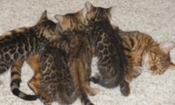 Gorgeous show qualityAsian Leopard Bengal Kittens 8 weeks old. Will have their first vaccinations and worming. Tica Reg. Very sweet personality's, litter box trained. Breeders available! Call for more information or if you want to see them, Thanks,