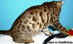 Bengal female spotted kitten for sale. She is 3 months old, and has lots of stunning dark rosettes. She is an F7 Bengal, 2 ½ pounds, and she has an award winning pedigree. She is also currently registered through TICA. She is very energetic, loves