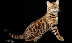 Call Mike to make an appointment to see these beauties. Top quality Bengal kittens at a fair price. www.bengalfever.net mike@bengalfever.net 281-373-1921 Cypress, TX 77433