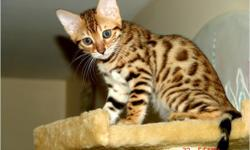 I have a stunning litter of Bengal kittens that will be ready to go to their new homes...I have one spotted snow girl,one spotted snow boy and a marble boy left.These are top quality kittens breed by an experienced breeder raised with much love and the