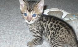 We have two Bengal kittens left. These babies will be ready to go to their new homes around the first part of December. I can hold them until Christmas for Santa to come by and pick them up if needed. LOL All kittens will have their vaccinations and a