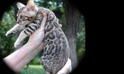 We are a small family breeder with a few selected breeding in the course of the year. Our kittens are family pets, and live with us. If it time, kitten, our dining room is the nursery and go to sell kittens from our hearts and homes, already use to