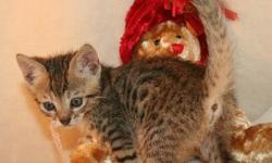We have a silver male & a 2 silver female Bengal Pixie Bob kittens that are ready for new loving homes! Only one born with no tail! They are 3/4 Bengal & will come with a health guarantee, shots up to date, wormed, litter trained & well socialized. For