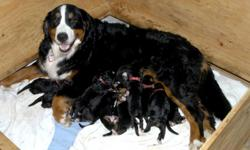 Beautiful litter of Bernese Mountain Dog puppies, born February 6, ready for new homes on April 2nd. Sold to approved homes only with a spay/neuter contract. We are not a kennel and only breed our pets for temperament, health and markings. Beautiful