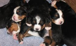 Pedigree tri-color berners--adorable! Ready to go to a new home on August 8, 2011 Great family companions