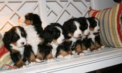 Pure bred-Bernese Mountain Dog puppies for sale-AKC registered. Born March 13, 2011. Ready for their new home on May 8. VET has examined and given a clean bill of health. All wormings, shots, and exams up to date. Each puppy has an individually prepared