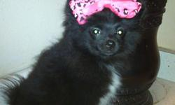 I have a beautiful black pomeranion she's only 3months old. She's great with kids. Very playful. Potty trained. Does not bark. Got a new apartment dogs not allowed. Small rehoming fee required. Please contact me my name is Nicole cell---