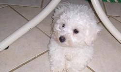 Adorable, fluffy bichon frise pups, 8 weeks old, ACA registered, their shots and worming are up to date and they come with a written health guarantee. I have two boys, they are nonshedding and hypoallergenic and will be about 15lbs full grown. Bichons