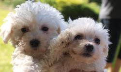 Hi I'm selling 2 male and 2 female bichon frise puppies. They are 12 weeks old and ACA registered. I have been a breeder for over 6 years and the parents are on premise. The set price is $400 but I will take the best offer. If you are interested please