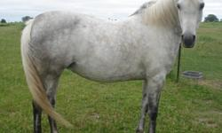 Pepsi is a very nice looking grey arabian horse, 15 hh and was used for trail riding last year, 2010, and was on the Pella and Wittenberg, WI trail rides. I only ride the gaited horses, so I do not ride Pepsi. I orginally bought Pepsi last fall, for my