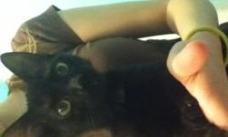 This kitten is 3 months old and is very cute and playful. He loves to play with just about anything. His favorite spot to sleep is a lap. He needs a family who will show him the love and attention he deserves. He has had all of his shot, but is not old