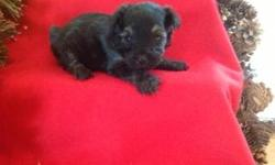 Sparky is a black and tan male Yorkiepoo. He was born November 12, 2012. Mom is a toy poodle and dad is a yorkie. CKC registered with a written health guarantee. Up to date on shots and dewormed. Parents on premises for you to see.
