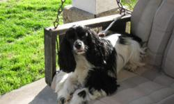 Free to a good home Black and White Cocker Spanel, Female, Spaed about 5 years old likes kids, Good natured and playful.