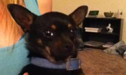 I found a small Chihuahua female dog, approximately 2-5 years old. Very sweet female. Black with tan points. Had been running around scared on N. Triviz Dr/ Bridger Ave (near Walmart on Lohman) on April 13th. She seems to be well taken well care of,