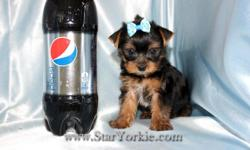 Yorkshire terriers, Maltese, Pomeranian, Havanese, Cavalier, Morkie, Yorkiepoo, Maltipoo, Malshi, Maltipom and More...   Congratulations ? you have found the best place in the country to get your new teacup puppy.   The Star Yorkie Kennel