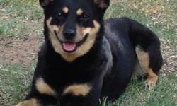 I have lost a black heeler mix with brown doberman-like markings named Stella. She was lost around 36th and Flint/Elgin. She is deeply loved and extremely missed. She has a stub tail as well. She is a trained adult and will respond