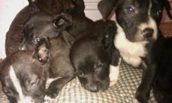 Hello, I have 4 Loveable Black Labs/ Cho Lab pit mix puppies that are looking for their forever home. They were Born on Sep, 24,2010.They are 8weeks old. I have 3 Females & 1 Males. They most likely will get about knee high. The are the most wonderful