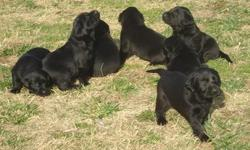 Just In Time For Christmas!! Black lab puppies, awesome pedigree, HRC titled bloodlines and hunters. Good family dogs. Guaranteed to be birdie. Call for pedigree. Will be 6 weeks old on Dec. 18, can hold until Christmas. Shots, wormed and dewclaws