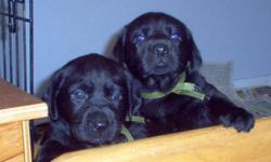 """I have 4 boys and 4 girl black Lab puppies - need good """"forever"""" homes. Born Oct. 1st. Mother is yellow Lab, father Chocolate Lab (yep and we have all black puppies!) These are Standard Labs.. the stocky built traditional labs. Asking $500.00 - 1st shots,"""