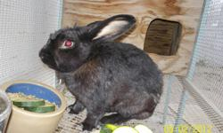 Black male bunny. He's a sweet little boy looking for a new loving home. Almost a year old. Hutch, bunny, and about 25 lbs of pellets