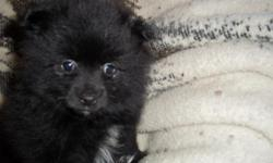 Black male pomeranian, 10 weeks old. Out of a litter of four. He has been vet checked and is very healthy. Has also had his second set of puppy shots and 2nd treatment for worms. A very loveable puppy and would be great with kids. You can
