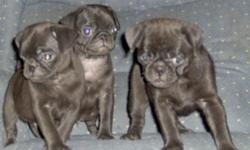 Three male black Pug puppies are looking for new homes. DOB is 6-21-10. They have had 1st shots and have their AKC registration in hand. Dad is a 16# brindle and Mom is an 18# black. Parents are on-site. We raise Pugs and only Pugs. These cute little guys