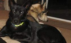 Fixed Male Black Shepherd. Age 5 yrs. Likes dogs, cats but fearful of strangers and children. Linda 864-7417