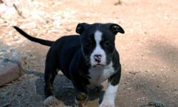 **HOLIDAY SPECIAL**$1500.00 Black Tri-ndle American Bully Pitbulls 1 Female available. 10 wks old. Short, compact bully, wide chests and very Clean. Both parents are extremely good dogs, and pups are mellow but focused. Clean Bites and Tails, perfect for