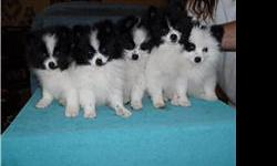 We have 5 of the sweetest pom pups you will ever see. They are black and white parti-poms. Born on Nov. 27, 2010 All up to date on shots and are crate trained for night time other than night time they run free. They have 2 sets of papers so you can