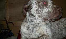 Blue eye Green eye Pointer X (FOR STUD) 1yr/8mo stedy and ready contacted Linda/Mel at --