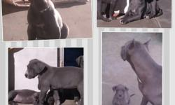 Purebred blue great dane puppies. 8 weeks old,No papers. First shots & dewormed. 5 males & 1 female. Ready to go to a good home. Will make a great Christmas present! Call or text ()-, ask for Luis