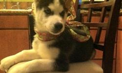 Introduce your new husky pup to the family for the Holiday season this year. We have a rare Blue/Green eye black/white male Siberian Husky pup born September 26, 2012.  Has have a unique, distinctive flor-de-le.  He currently has his